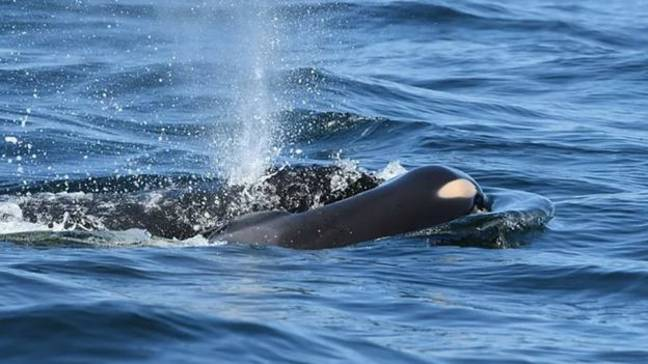 Credit: Center for Whale Research