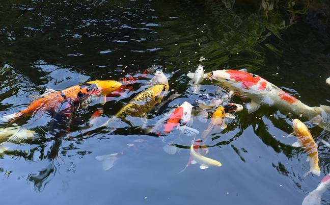 40 Koi carp live in the centre piece pond. Credit: Caters