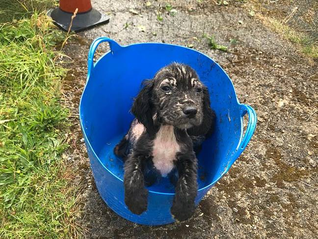 Badger was found dumped in a bucket. Credit: RSPCA