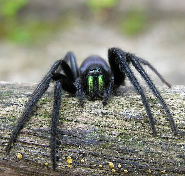 The spiders are often found in British port cities. Credit: Luis Miguel Bugallo Sánchez
