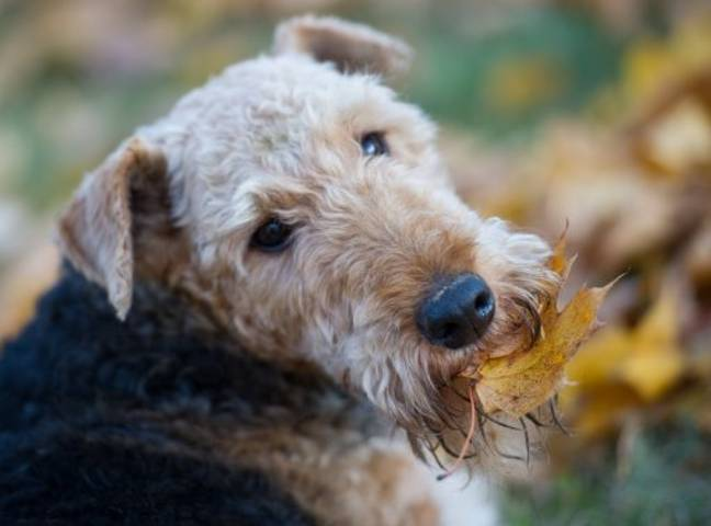 An Airedale terrier called Rolf was the pick of the school. Credit: PA