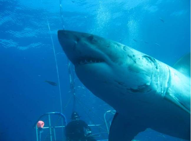 'Deep Blue' the huge great white shark. Credit: Getty