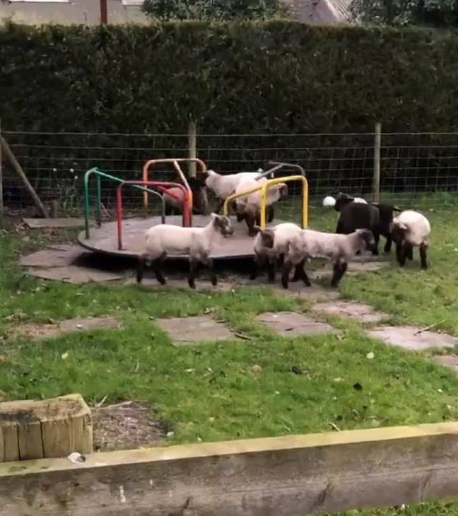 Lambs were seen playing on a children's roundabout. Credit: Debbie Ellis
