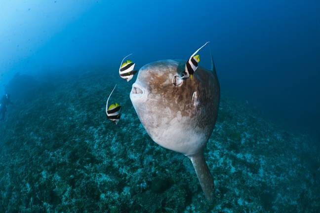 The sunfish likes nothing more than basking in the sun. Credit: PA