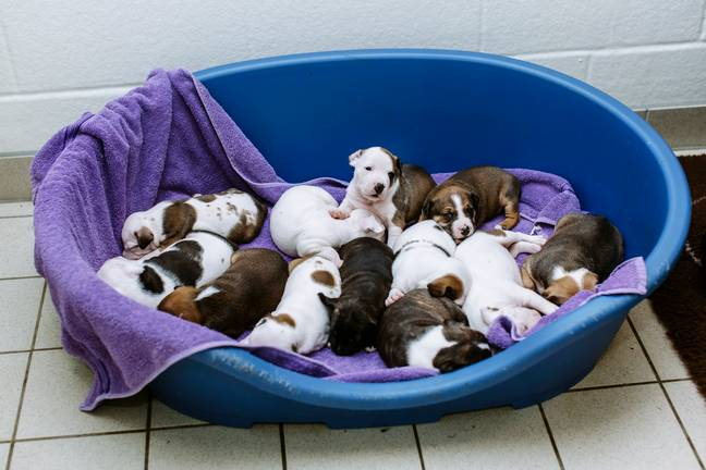 Darla's puppies. Credit: SWNS