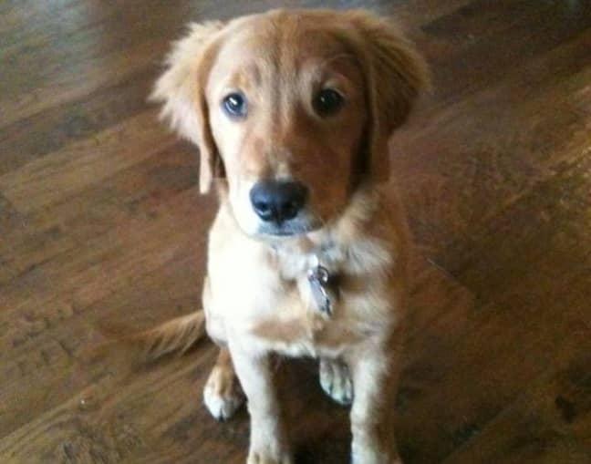 Hank as a pup. Credit: Twitter/@USCocksman