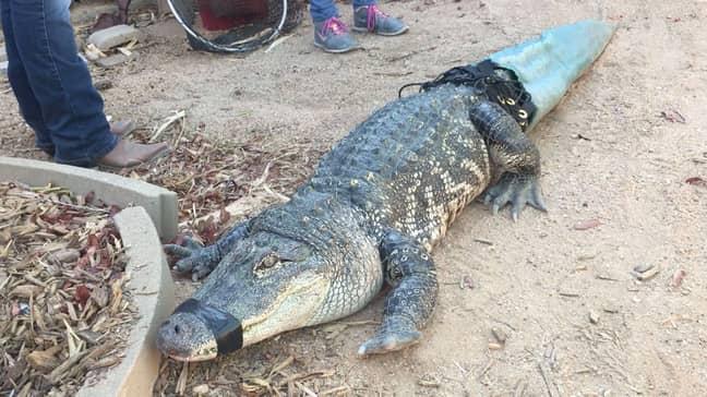 Mr Stubbsy the alligator
