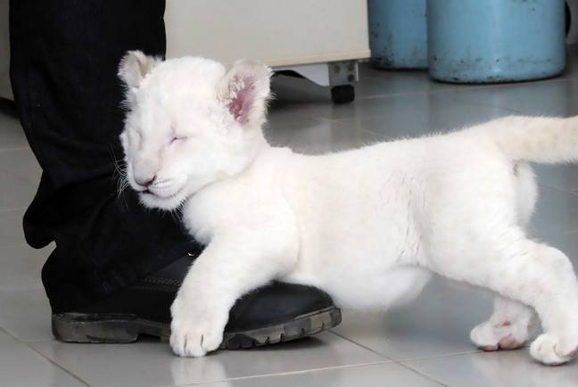 Nieve the white lion cub is reported to be healthy with a 'bright and playful' attitude. Credit: CEN