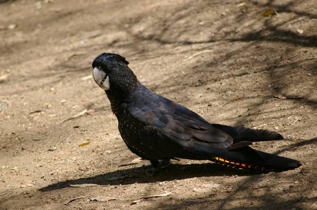 A rare flock of black cockatoos may have perished on Kangaroo Island. Credit: Pixabay