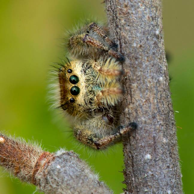 The large jumping spider. Cute, isn't it? Credit: PA