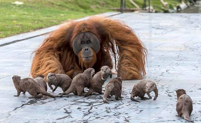 The orangutans have been at the zoo since 2017. Credit: Caters