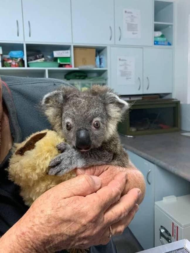 Keli the baby Koala was saved by vets. Credit: The Port Macquarie Koala Hospital