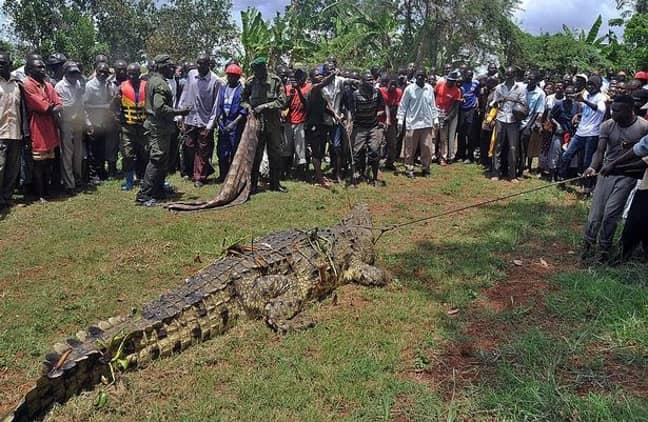 A crocodile captured in Uganda in 2014. Credit: Getty