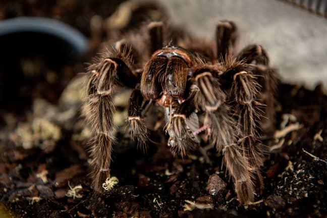 Vanessa's first tarantula. Credit: SWNS
