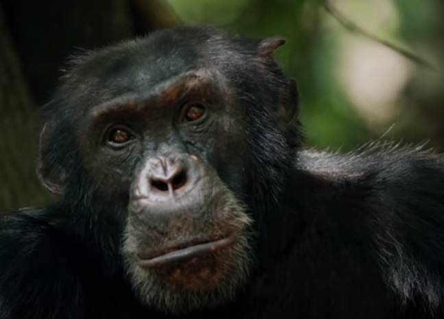 David the chimpanzee from Sir David Attenborough's 'Dynasties'. Credit: BBC