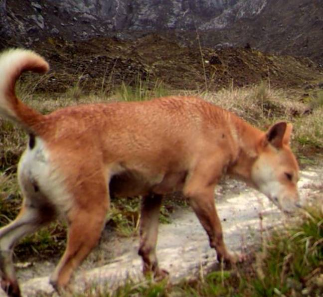 It's hoped the ancient breed can be preserved. Credit: New Guinea Highland Wild Dog Foundation