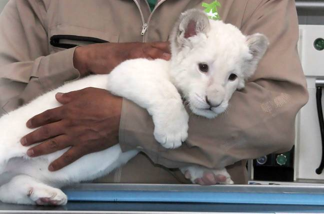 Nieve is just one of several baby animals born as part of Altiplano Zoo's breeding programme. Credit: CEN