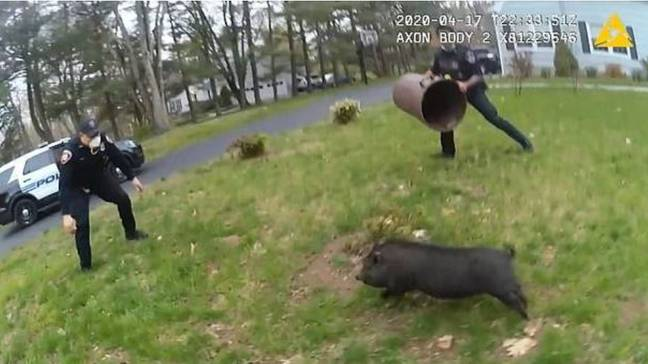The pig was pursued by three police officers for 45 minutes. Credit: Stamford Police Department