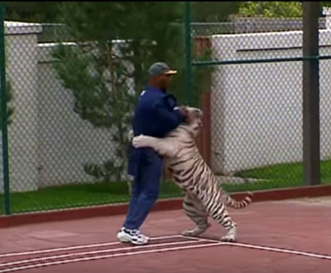 Tyson used to walk the big cats on leads around the property. Credit: CBS