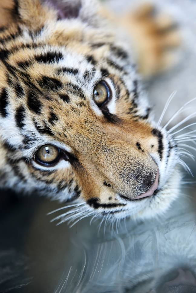 Tiger farms are driving a black market where the animals are bred for parts. Credit: PA