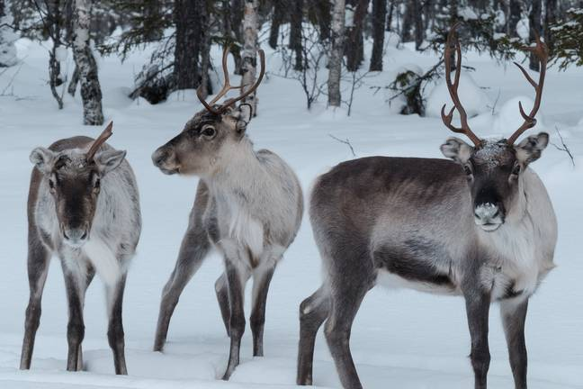 Lapland is ordinarily a winter wonderland at this time of year. Credit: PA
