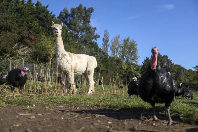 The turkeys at the Copas Traditional Turkeys farm have some new - and very fluffy - bodyguards. Credit: PA