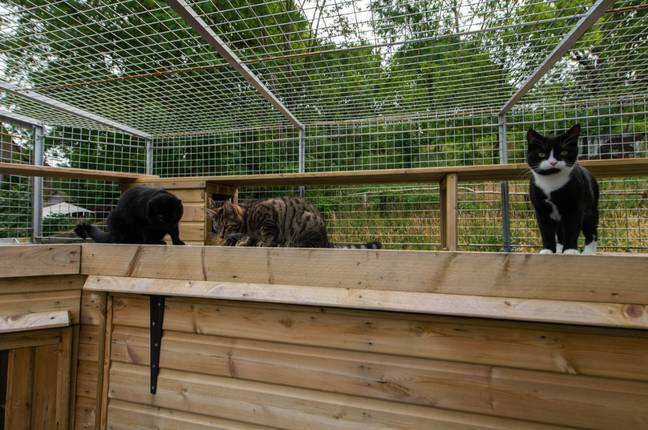 Just the LADs, hanging out in their zoo-style cat cage. Credit: SWNS