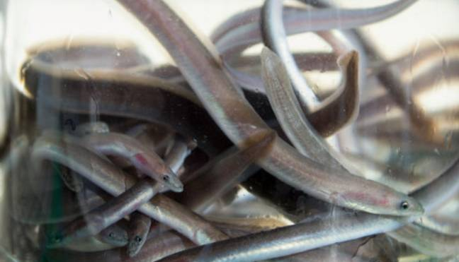 Eels In Thames Could Be Left Hyperactive From Cocaine In The Water. Credit: PA