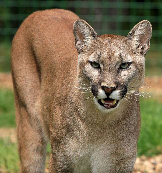 A runner killed a mountain lion that pounced on him during a trail run. Credit: 1713 images/Pixabay