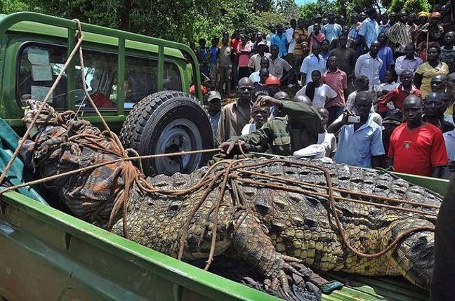 This crocodile was captured by villagers in Uganda. Credit: Getty