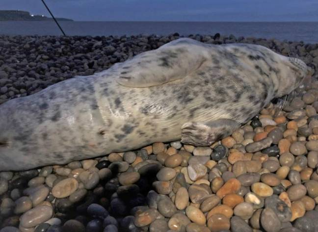 The seal was found on Chesil Beach in Dorset. Credit: BNPS