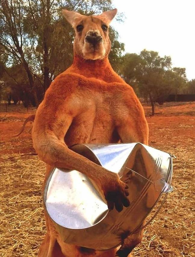 Here's how hench kangaroos can get. Credit: The Kangaroo Sanctuary/Facebook