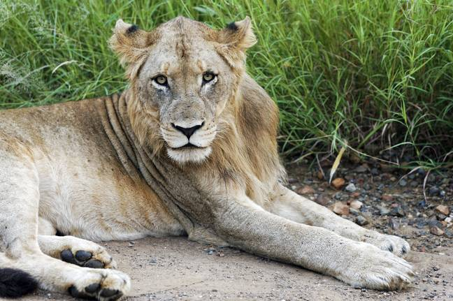 Lion in Kruger National Park. Credit: PA