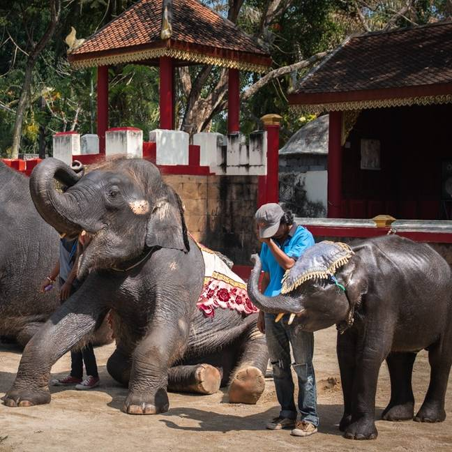 Earlier this year, young elephants were spotted being beaten and forced to perform in Phuket. Credit: Moving Animals