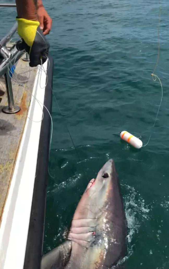 A giant 8ft shark was caught off the coast of Dorset last week. Credit: BNPS