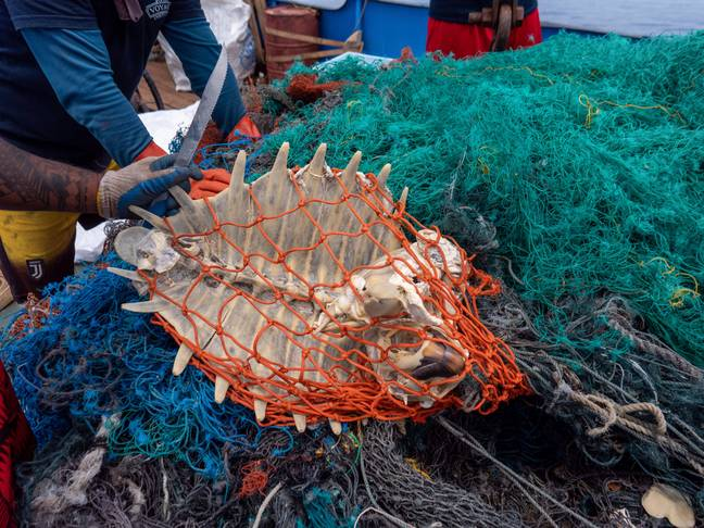 A sea turtle skeleton was found trapped in one of the nets. Credit: Ocean Voyages Institute