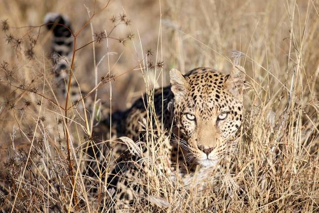 A leopard hunting in the Bushveld in southern Africa (stock image). Credit: Ben McRae/Alamy Stock Photo