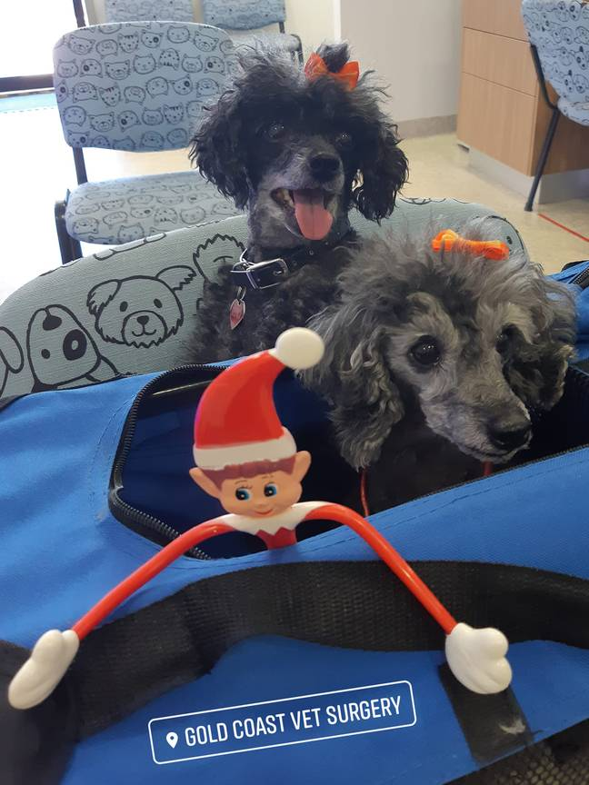 The elf has been visiting some other patients at the Gold Coast Vet Surgery too. Credit: Facebook/Gold Coast Vet Surgery