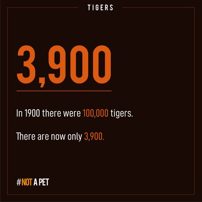 The number of tigers in the wild has plummeted. Credit: WaterBear