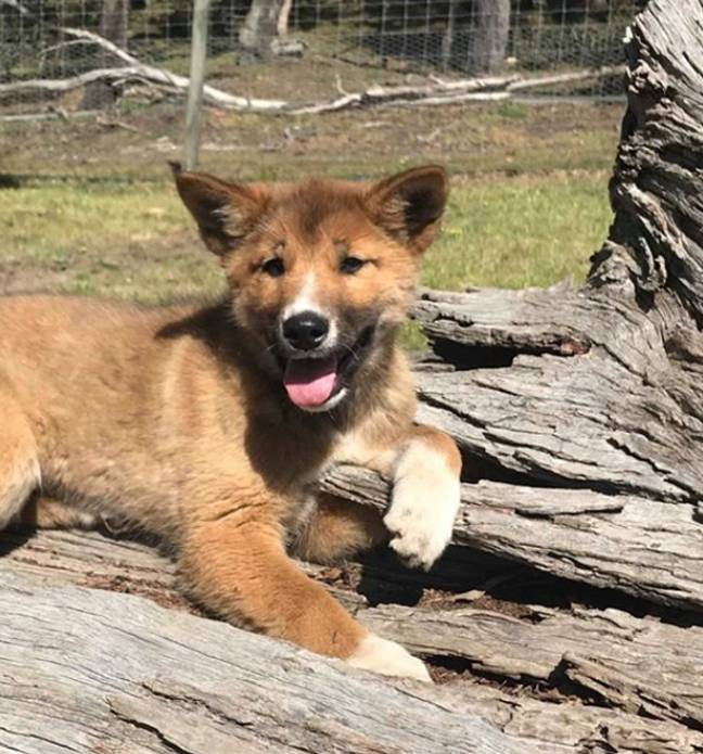 He will now live at Australian Dingo Foundation's sanctuary and become part of its breeding programme. Credit: wandi_dingo