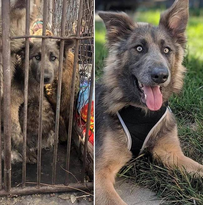 This pooch went from a meat truck in Harbin to a new life in America. Credit: Harbin SHS