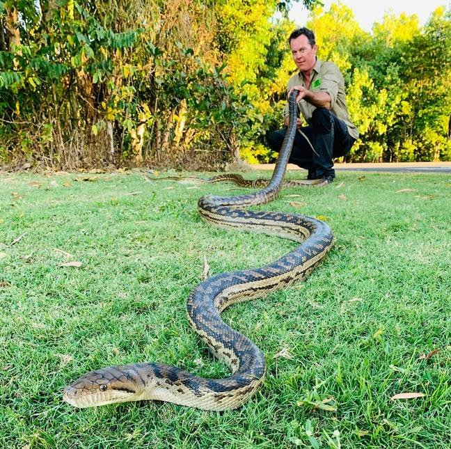Matt Hagan rescued this huge snake from a couple's home in Cairns. Credit: Cairns Snake Catcher