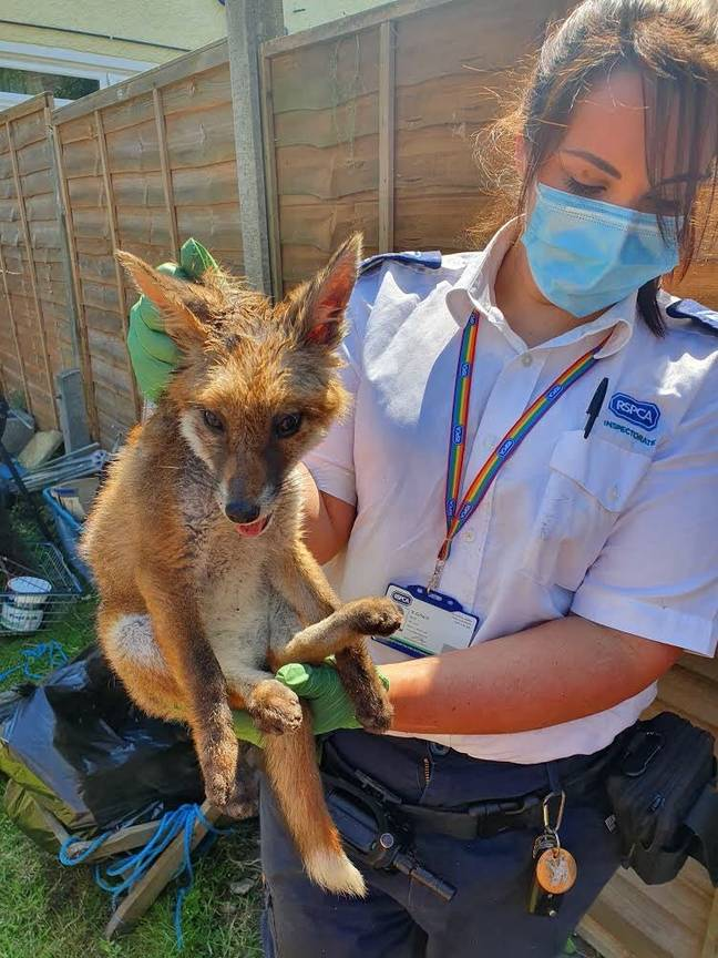Kirstie with the rescued fox. Credit: RSPCA/Twitter
