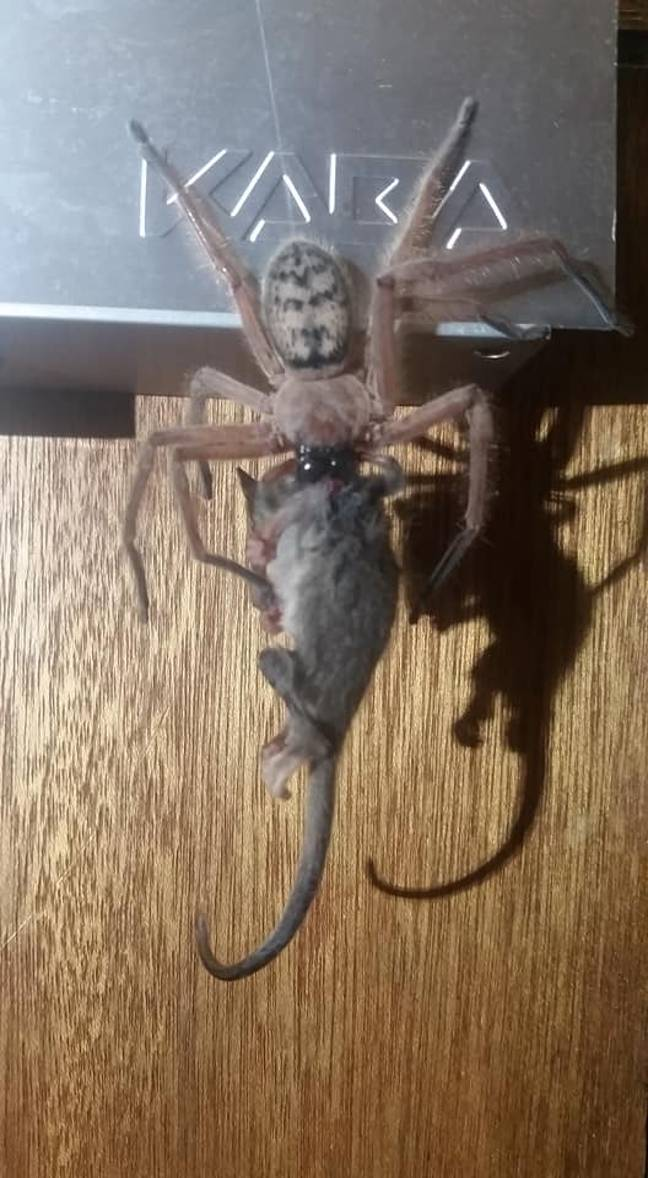 The huntsman spider with the pygmy possum. Credit: Facebook/Justin Latton