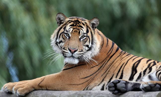 This is what a real tiger looks like, by the way. Credit: PA