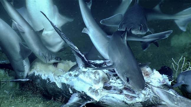 The sharks in a feeding frenzy. Credit: NOAA