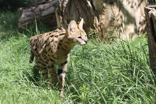 Savannah cats are a cross between a domestic cat and a serval (pictured). Credit: PA
