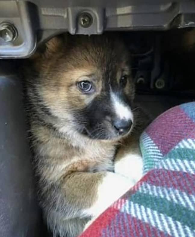 Credit: Madi McKenzie/Australian Dingo Foundation