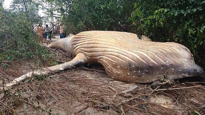 Dead Humpback Whale Mysteriously Turns Up In The Amazon Rainforest