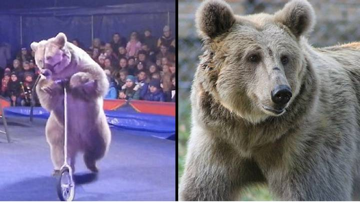Incredible Moment Circus Bear Is Released Into A Sanctuary